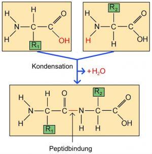 L_2.3-6 Peptidbindung