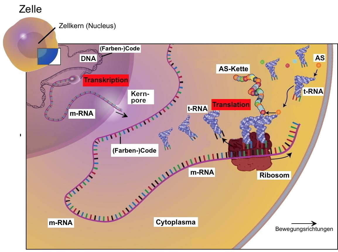 AB 200 200.20 Proteinbiosynthese und mehr   vereinfacht, kurz und ...